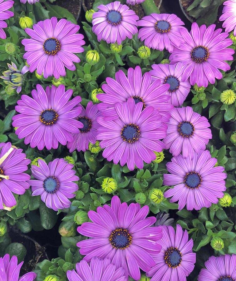 在绽放的紫罗兰色紫色海角延命菊雏菊花 免版税图库摄影
