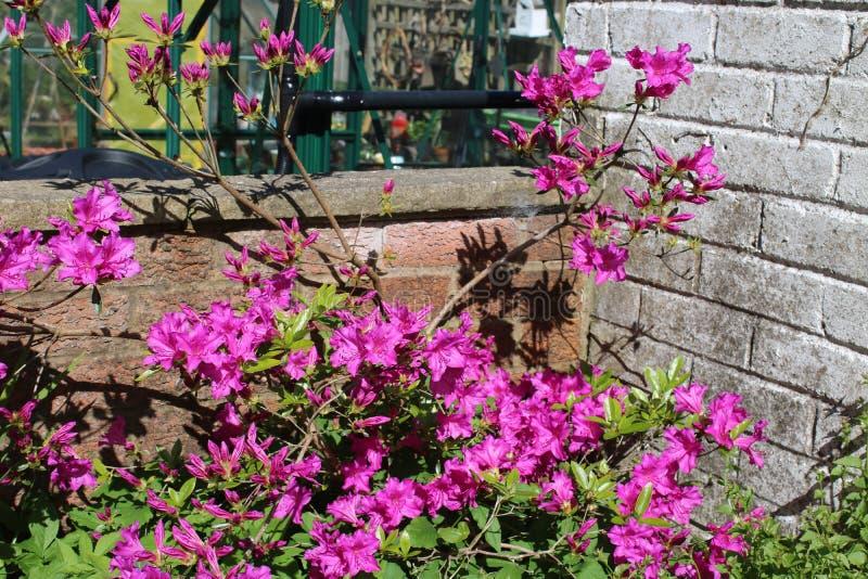 在绽放的紫色杜娟花在春天 免版税库存图片
