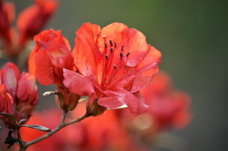在绽放的红色杜娟花有被弄脏的背景 库存图片