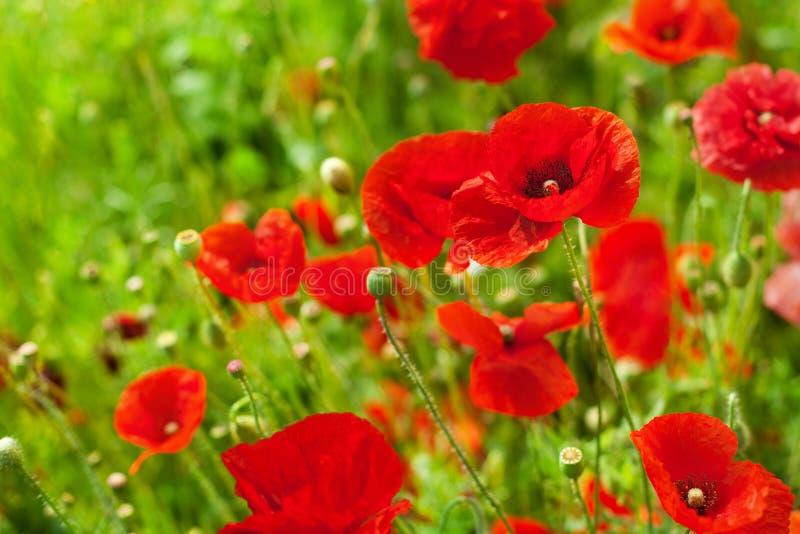 在绽放的红色鸦片花在绿草被弄脏的背景关闭,美丽的鸦片调遣开花,晴朗的夏日风景 库存图片