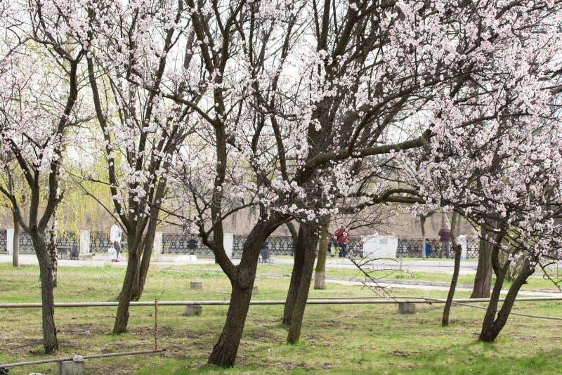 在绽放的美丽的树在春天 色的树 库存图片