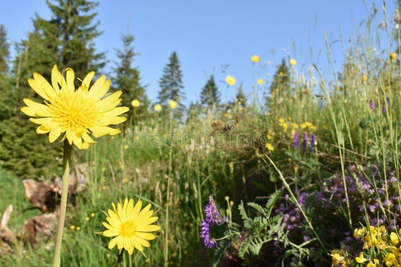 在绽放的美丽的狂放的黄色夏天花 库存照片