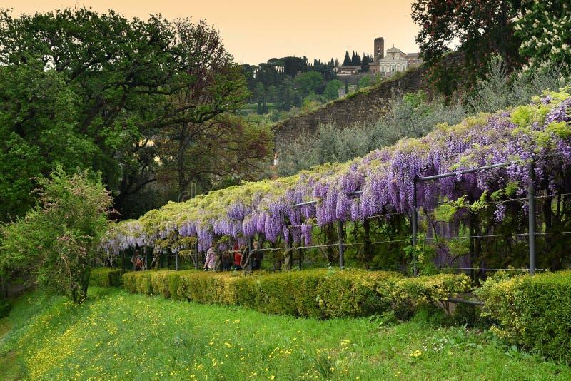 在绽放的美丽的紫色紫藤 开花的紫藤隧道在米开朗琪罗广场附近的一个庭院里在佛罗伦萨 库存照片
