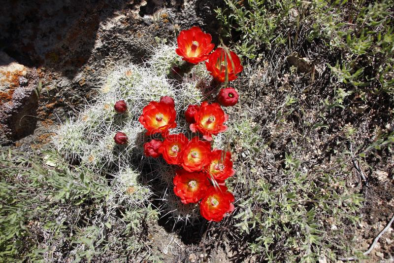 在绽放的美丽的红色仙人掌花 图库摄影