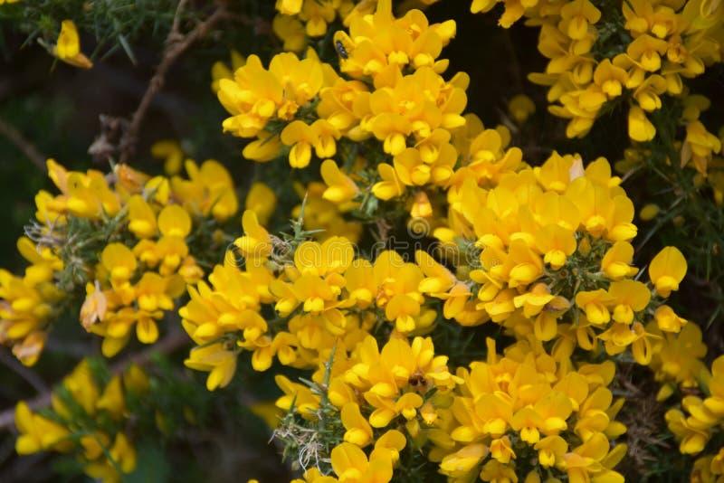 在绽放的美丽的金黄黄色开花的常青金雀花布什 图库摄影