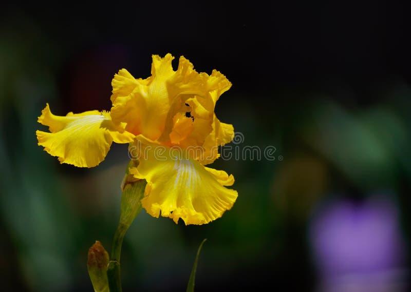 在绽放的自然的惊人的黄色虹膜 库存照片