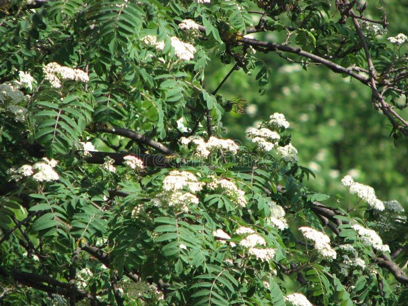 在绽放的花揪在春天 库存照片