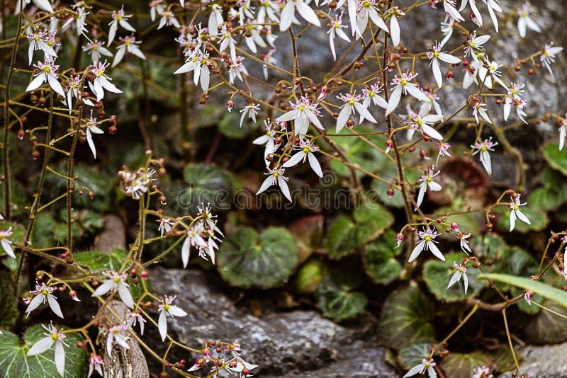 在绽放的草莓秋海棠与绿色花梢叶子的patternin红色和 图库摄影