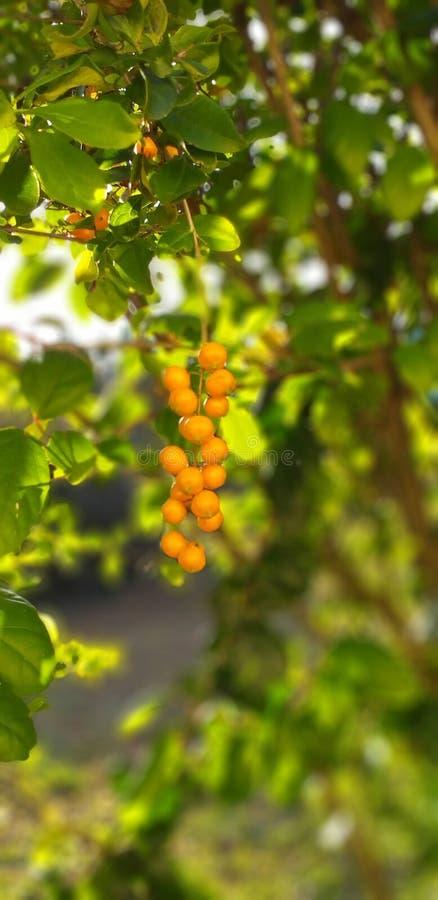 在绽放的莓果 免版税库存图片