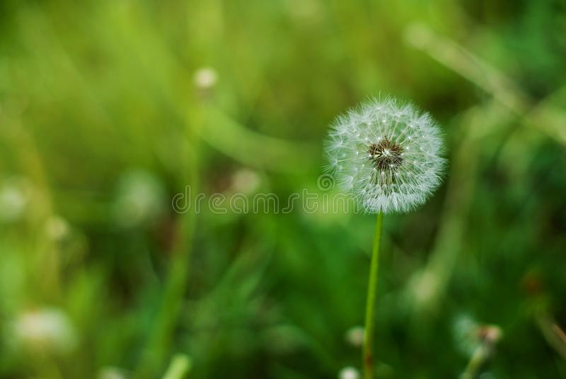 在绽放的蓬松蒲公英 春天蒲公英开花绿草自然背景 图库摄影