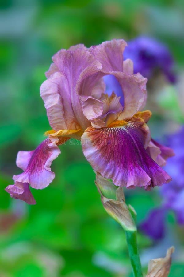 在绽放的虹膜花 免版税库存图片