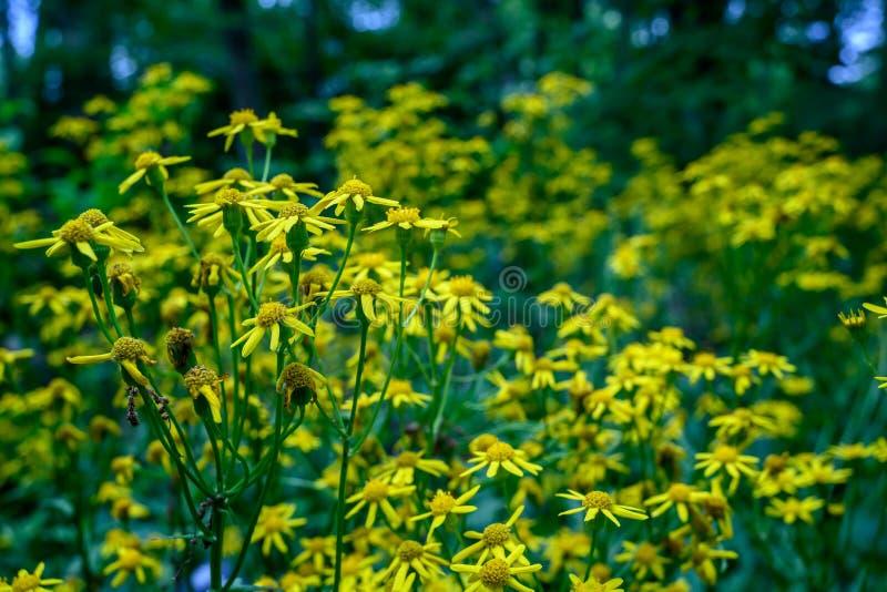 在绽放的许多黄色野花 库存图片