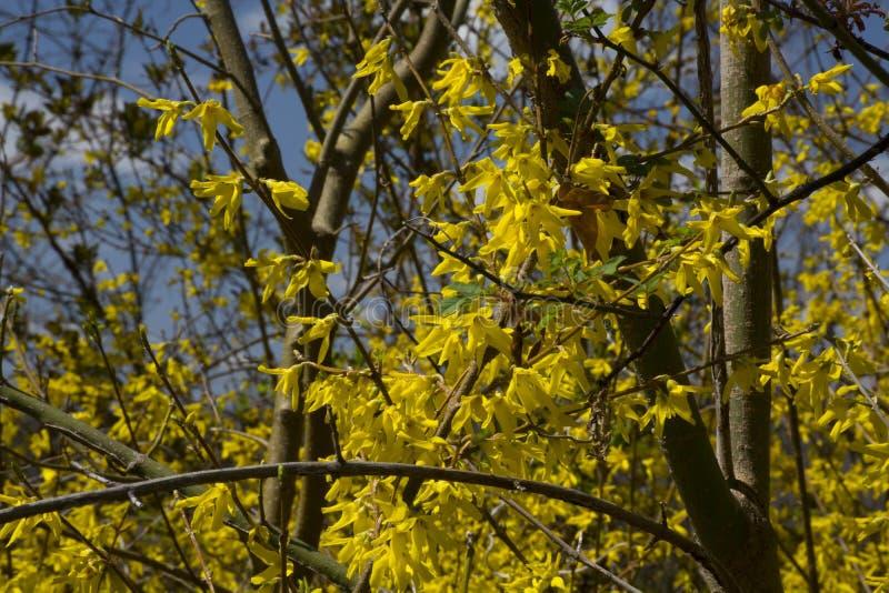 在绽放的连翘属植物 免版税图库摄影