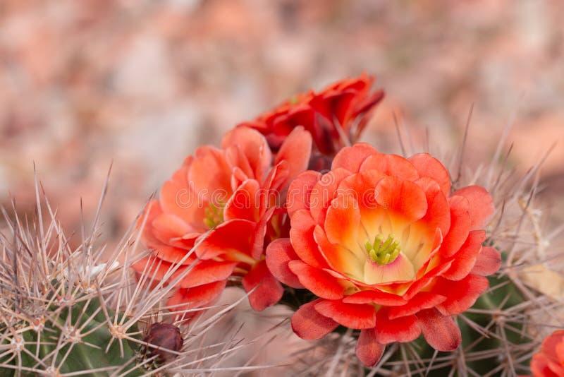 在绽放的Cuctus与橙色花 免版税库存照片