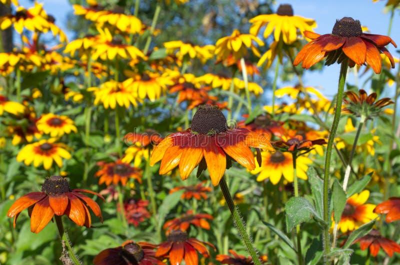 在绽放的Rudbecia在庭院里在一个夏日 库存图片