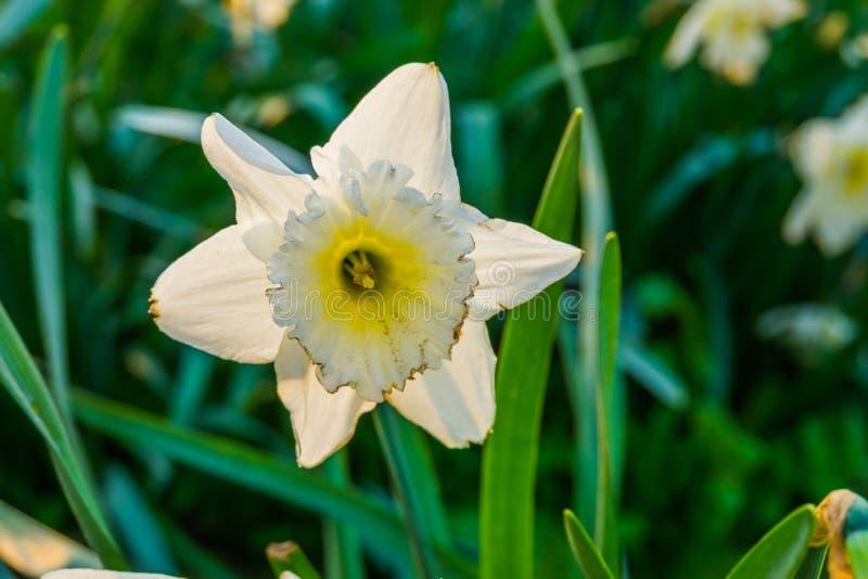 在绽放,一朵普遍的荷兰花的宏观特写镜头,自然背景的白色黄水仙花 免版税库存图片