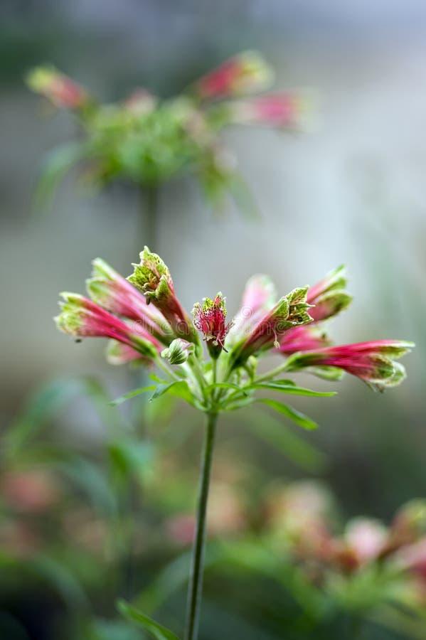 在绽放,五颜六色的美丽的开花的巴西植物的惊人的热带德国锥脚形酒杯viridiflora花 免版税库存图片