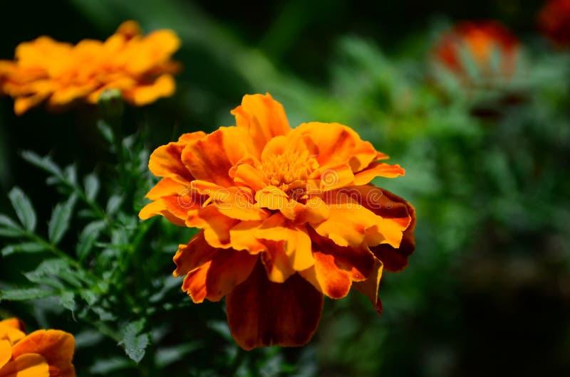 在绽放,橙黄色花的万寿菊,绿色叶子 免版税库存图片