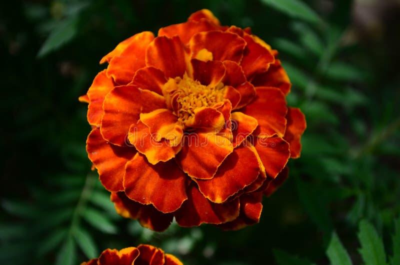 在绽放,橙黄色花的万寿菊,绿色叶子 免版税库存照片