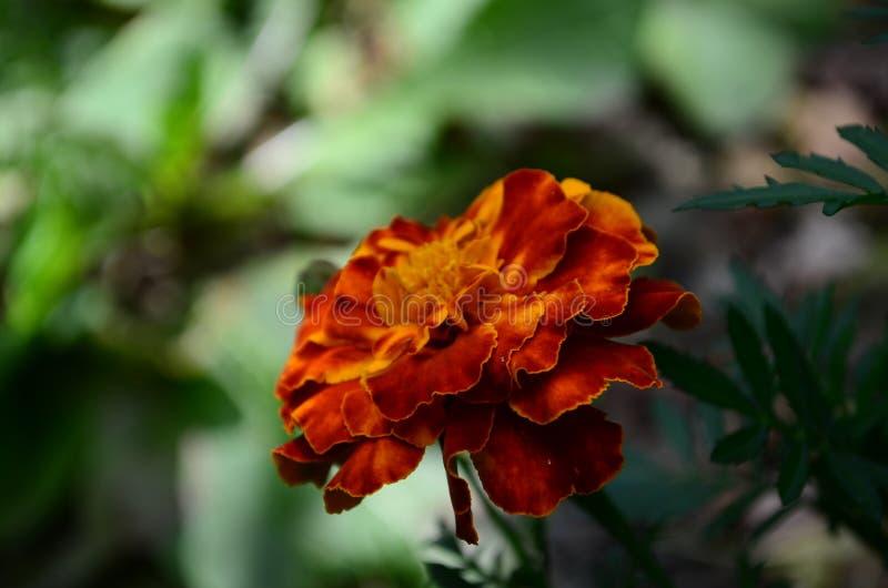 在绽放,橙黄色花的万寿菊,绿色叶子 图库摄影