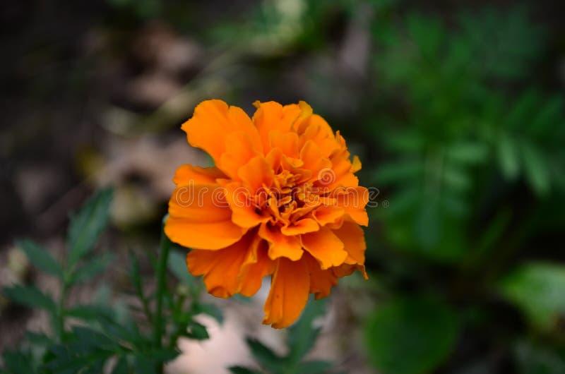 在绽放,橙黄色花的万寿菊,绿色叶子 库存图片