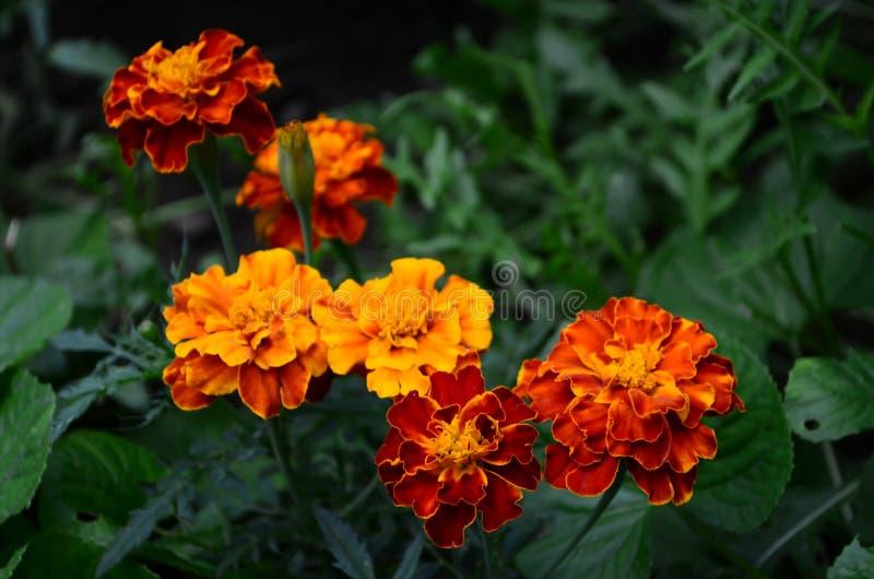 在绽放,橙黄色花的万寿菊,绿色叶子 免版税图库摄影