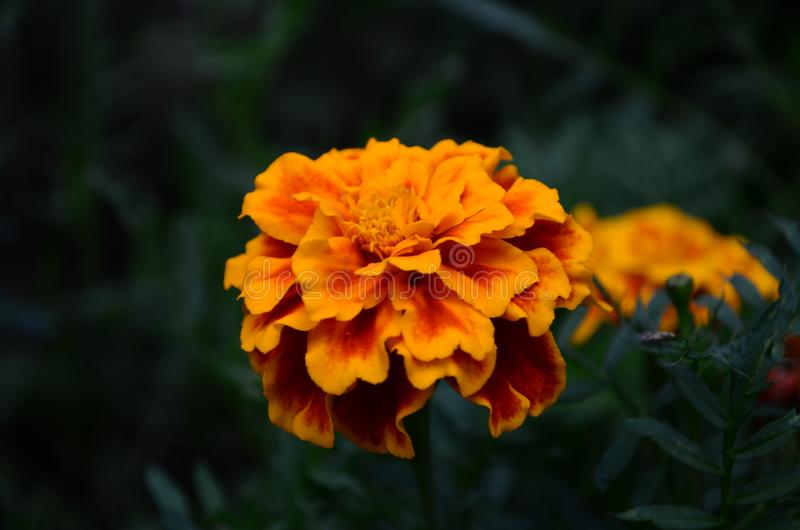 在绽放,橙黄色花的万寿菊,绿色叶子 库存照片