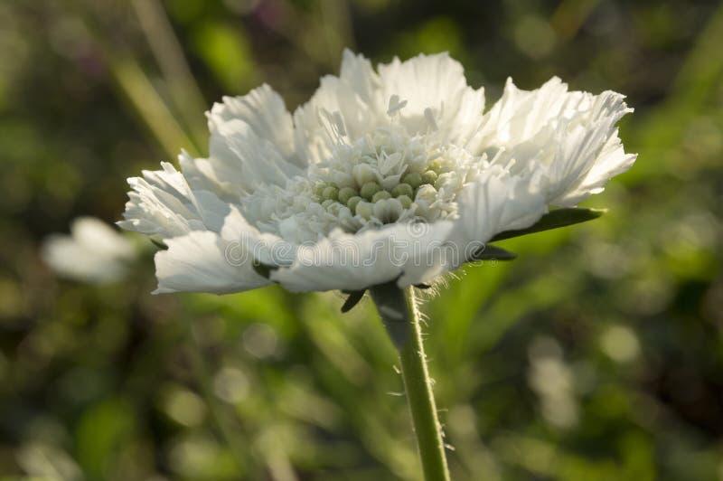 在绽放,白种人针垫花,白种人飞蓬的SCABIOSA CAUCASICA 库存照片