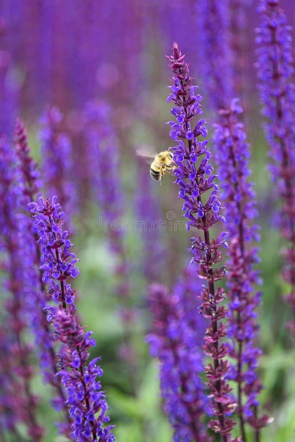 在绽放,紫色和绿色庭院里弄糟授粉紫色salvia的蜂 库存图片