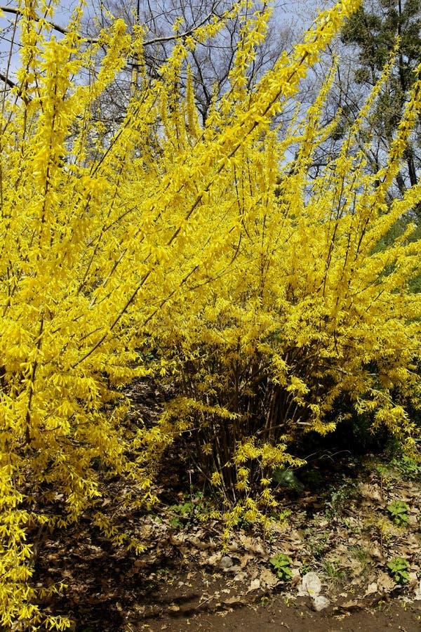 在绽放,美妙的连翘属植物 美妙地增长 免版税库存图片