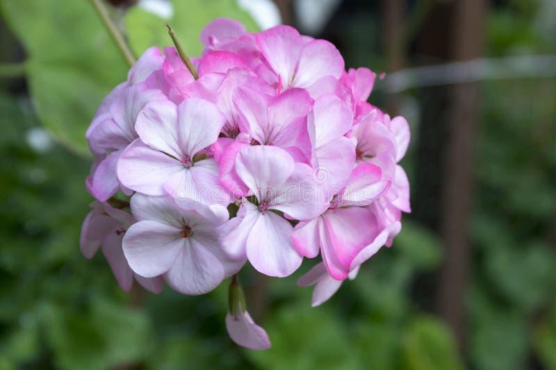 在绽放,轻的淡粉红的白花的天竺葵zonale 免版税图库摄影