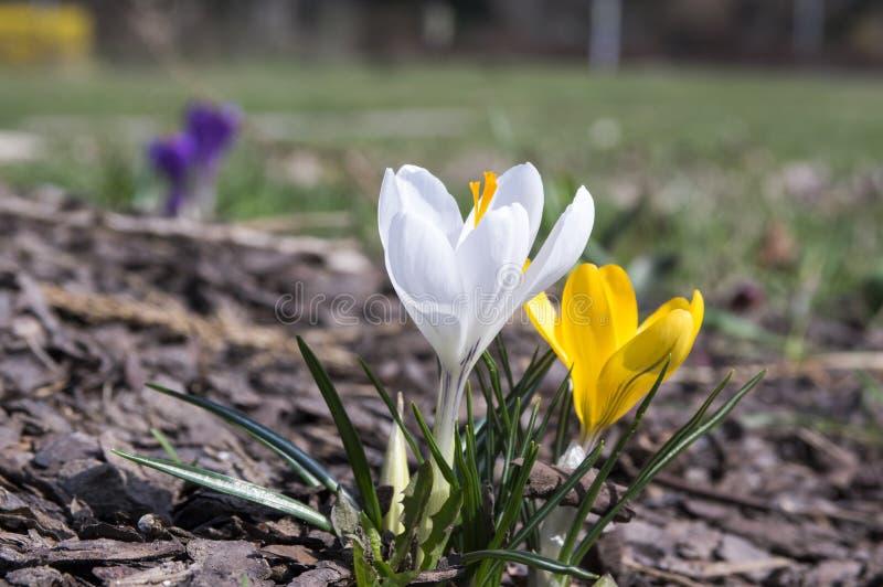 在绽放,黄色和白花的两朵番红花vernus 库存图片