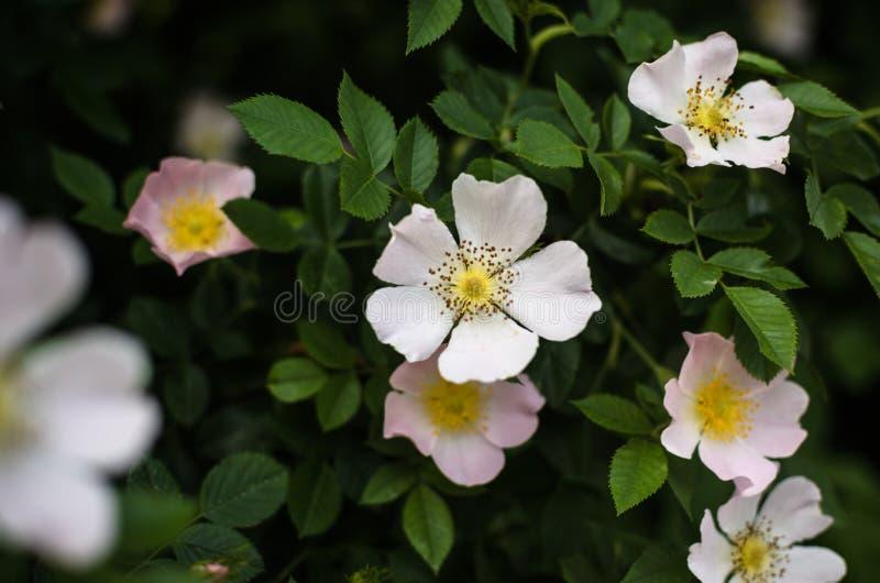 在绿叶中的狂放的玫瑰色花 免版税图库摄影