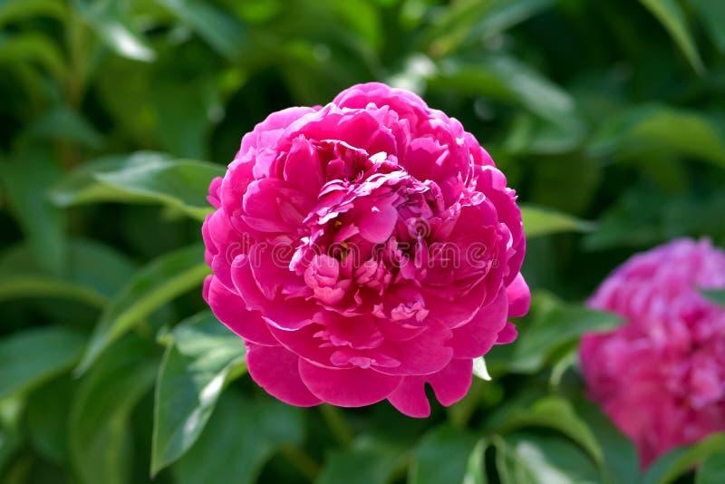 在绿叶背景的桃红色牡丹花绽放春天在庭院里在温暖和晴朗的早晨 图库摄影