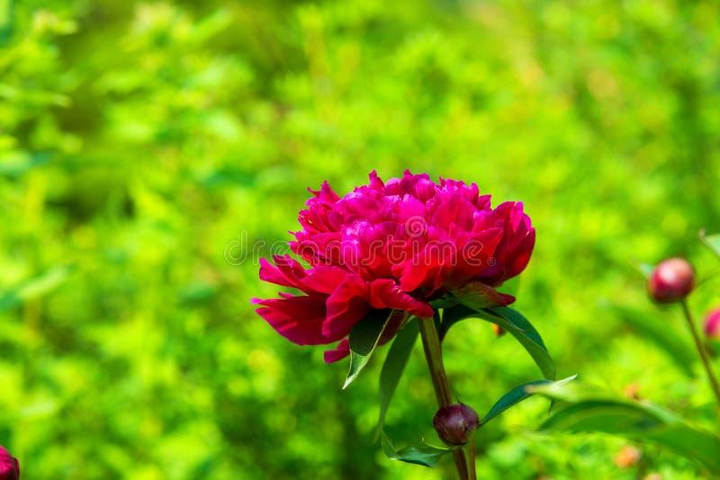 在绿叶背景的桃红色牡丹花绽放春天  库存图片