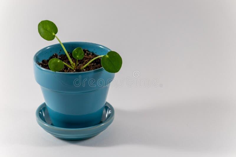在绿松石罐的冷水花属Peperomioides 库存照片