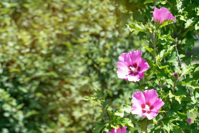 在绿色公园背景的淡紫色花  在绿色公园背景的淡紫色花  在绿色灌木的紫罗兰色花 库存照片