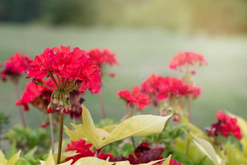 在绿色公园背景的红色野花  红色花在绿色叶子被弄脏的背景关闭在的一好日子 库存照片