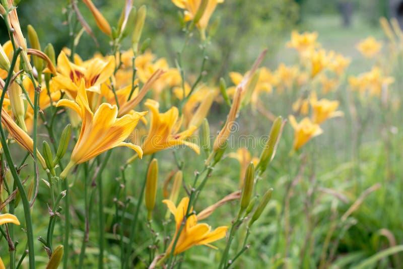在绿色公园背景的黄色花百合  黄色百合关闭在绿色叶子被弄脏的背景在t的一好日子 库存照片