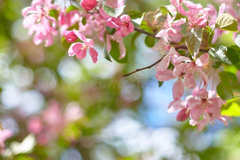 在绿色分支的桃红色桃子花在晴朗的天气 淡色与拷贝空间的春天背景 库存照片