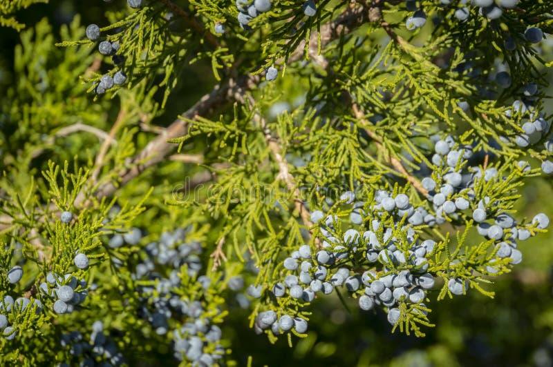 在绿色分支的蓝色杜松子特写镜头以美好的迷离为背景 美丽自然 库存图片