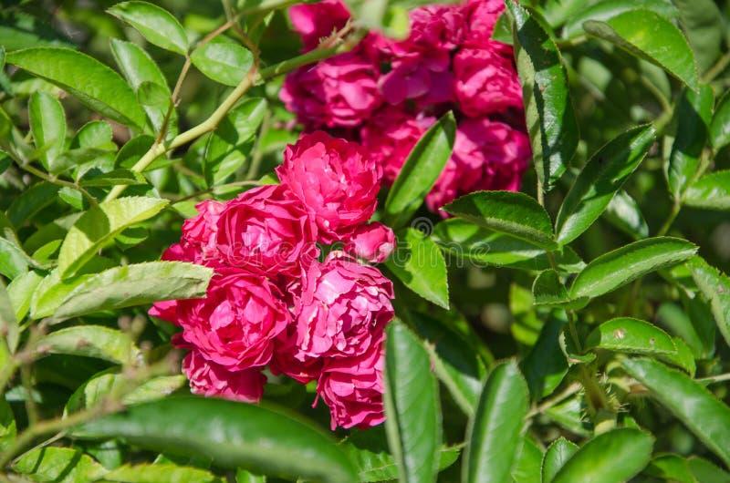 在绿色叶子中的小桃红色玫瑰 免版税库存照片