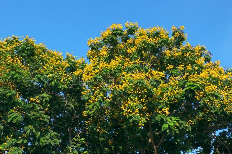 在绿色叶子中的豹子树绽放黄色花在天空蔚蓝背景 库存图片