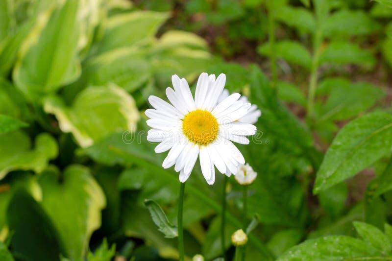 在绿色叶子和草背景的开花的狂放的白色和黄色春黄菊花在夏天 免版税库存图片