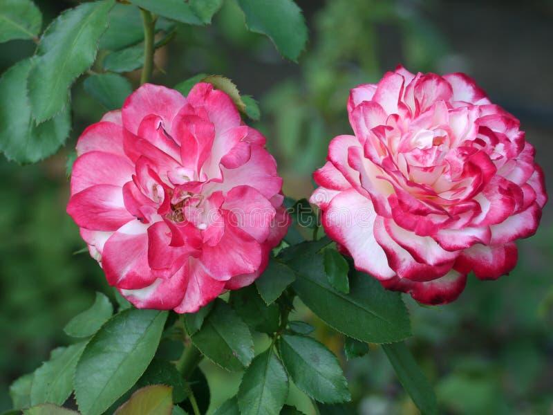 在绿色叶子和词根背景的两朵豪华的充分的两色玫瑰花,白色和桃红色玫瑰  免版税库存图片