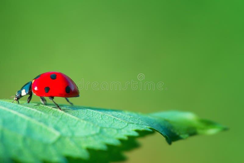 在绿色叶子植物的红色瓢虫反对自然本底, clos 免版税库存图片