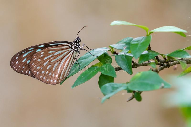 在绿色叶子的布朗蝴蝶 库存照片