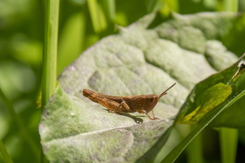 在绿色叶子的布朗蟋蟀 免版税库存图片