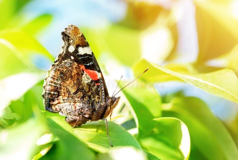 在绿色叶子的特写镜头宏观黑脉金斑蝶在果树庭院 昆虫在果树园 明亮的春天好日子 库存照片