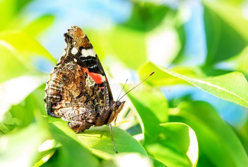 在绿色叶子的特写镜头宏观黑脉金斑蝶在果树庭院 昆虫在果树园 明亮的春天好日子背景 库存照片